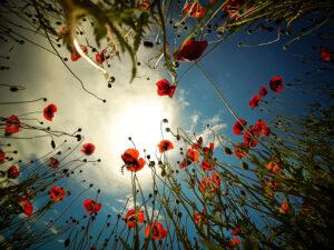 Mohnblumen in Istrien - derferder.at