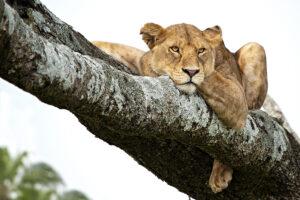 Löwin in Tansania - derferder.at